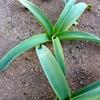 アリウムギガンチウムに花芽がつく