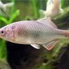 アカヒレタビラの特徴 外観・飼育・繁殖・釣り情報を詳しく解説!