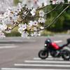 桜の見ごろはあと数日後だけど、それでもほぼ満開
