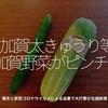 869食目「加賀太きゅうり等加賀野菜がピンチ!」暖冬と新型コロナウイルスによる自粛で大打撃@北國新聞