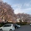 黄金堤の桜並木