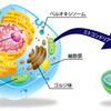呼吸による細胞(ミトコンドリア)活性化で自然治癒力を引き出す