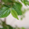 盆栽エノキの芽摘みと双幹について
