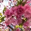 八重桜を探して