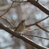 県民の森(宮城県利府町)で、ルリビタキを近距離で撮影! 2/17、その1