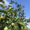 今年もグァバは豊作です+まだイチゴ採れます。 (オレンジ家の裏庭だより)