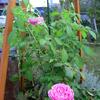 夏のバラ 紹介