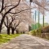 人散る、桜散る。