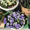 4-363   愛すべき花たち〜ビオラがとても綺麗です!!〜
