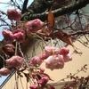 ボタン桜開花宣言