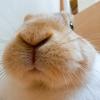 【ミニウサギのサスケ先輩】うさぎのトイレトレーニングは手作りで乗り切る!?
