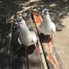 鳩が弁当をもらいに来た話
