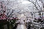 東京都内で気軽に桜を満喫できる、定番のお花見の名所ベスト10