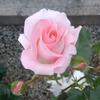 ピンクダイヤモンドレイ