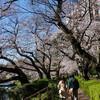 桜と光るタマネギー九段下と千鳥ヶ淵ー
