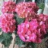 紫陽花〜元気な女性の花