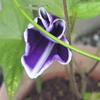 アサガオが咲きました