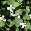 手賀沼遊歩道のドクダミの花