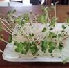 誰でも無農薬無肥料野菜栽培ができる、かいわれ大根