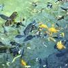 【子連れ】グァム  PICプールで子供アクティビティその①  魚の餌付け体験⭐️