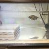 トウブドロガメ、'18子亀の成長9。