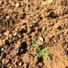 野菜づくり二年生 54 〜早生ソニック植えつけ&カモミールの発芽