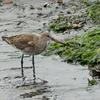 OLYMPUS OM−D E−M1 試写 水辺の鳥(オグロシギ)