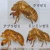 セミの抜け殻が蜂に似てる