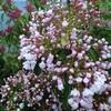 卯の花の系統か?