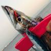 【青物ボイル】タチウオ調査のオハナシ。【ジグパラ】