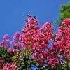 高台寺のサルスベリ、見ごろと開花情報。