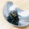 昆虫食 第20話 コガネムシとは何かが違う!? カナブンの食べ方
