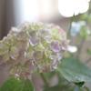 【切り花の紫陽花】毎日ちょっとずつ変化しているから、大丈夫。【色が変わった!】