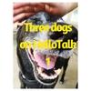 タイの豪雨が好きな犬 Three Dogs on HelloTalk 1