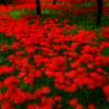 森の奥には赤い道 彼岸の花の赤い道
