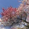 【長野】今年は10日ほど早い!阿智村の花桃2021