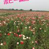 日本一広いポピー畑♡とステーキ食べ放題
