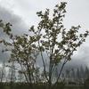 「マダム倶楽部」活動報告 桜の花満載のウォーキングだけど、曇ってるとその美しさは半減します 4月11日