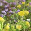 紫じゅうたんのサギゴケ