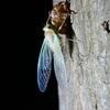 📷夜の森でセミの羽化を激写☺