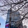 今年の桜⑥  ザギンの桜