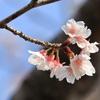 通称『特攻桜』