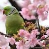 2020年2月。河津桜とインコの共演!