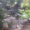 「庭いじりの贅沢」「鯉が鷺に食べられた。」(4)目撃 アオサギが鯉を食べた