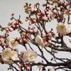 梅の開花は盆梅から