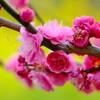 浜離宮庭園で梅と菜の花
