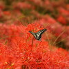 矢勝川の彼岸花と蝶々