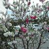 花桃が咲きました~
