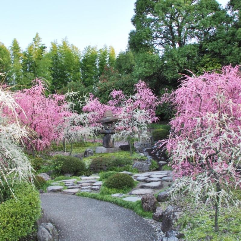 京都はんなり歳時記〜城南宮のしだれ梅と椿まつり〜