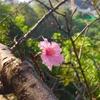 香港の河津桜